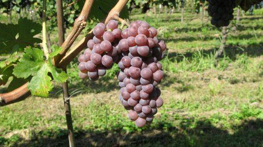 Antichi vitigni, il ritorno di Biancaccia e Rossetta di Montagna