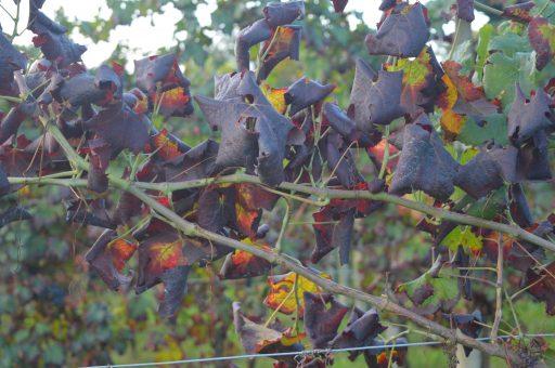 Lotta alla Flavescenza: il progetto Winetwork