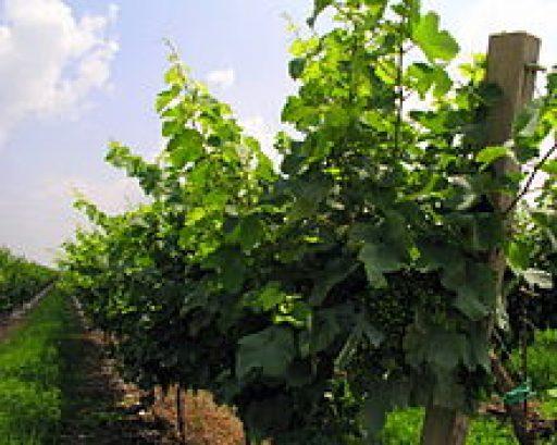 Prosecco Doc, 222 ettari per il Friuli VG